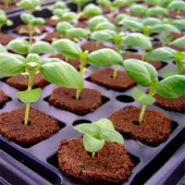 Hydroponic plant seedlings